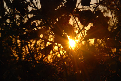 Sun Rising Through the Leaves