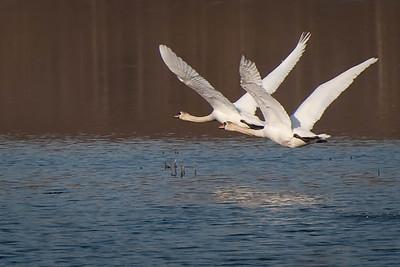 Swans Taking Flight