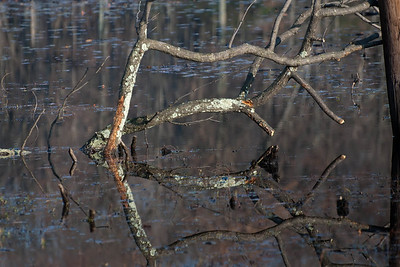 Branch Reflecting in a Beaver Pond