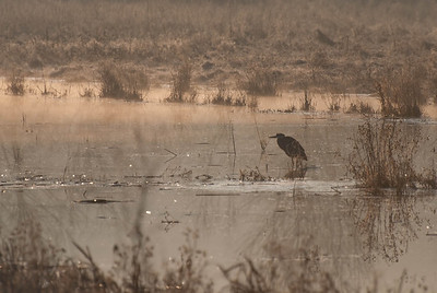 Blue Heron in the Morning Mist