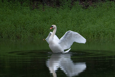 Swan in a Summer Pond