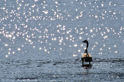 Canada Goose Silhouetted By Sparkling Water