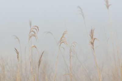 Nature Abstract – Amber Grass in the Morning Fog