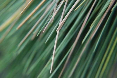 Pine Needles -2