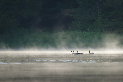 Geese in the Lake's Early Morning Mist