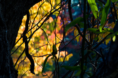 Nature Abstract – Autumn Colors Through the Silhouetted Vines