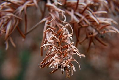 Dried Pine Needles