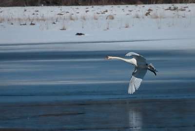 Swan in the Winter