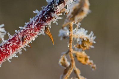Frost Covered Thorn