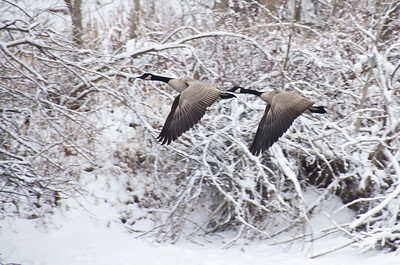 Geese Flying after a Fresh Snowfall