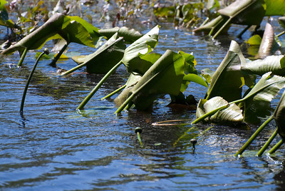 Lilly Pads - 2