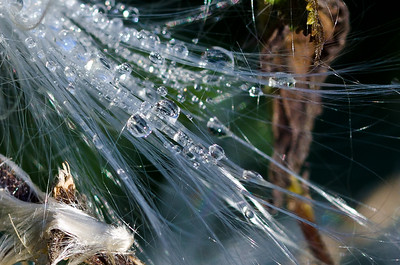 Morning Dew on the Milkweed Fibers