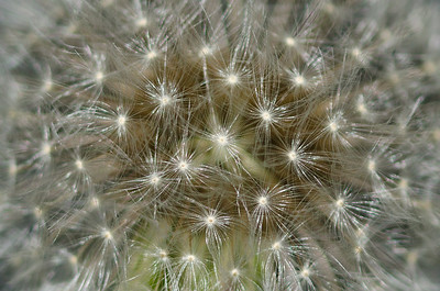 Nature Abstract - Dandelion Starburst