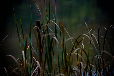 Cattails in the Grass