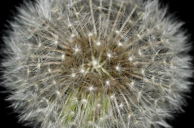 Nature Abstract - Dandelion Starburst