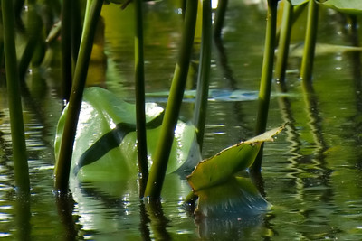 Lilly Pads - 3