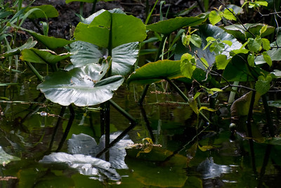 Lilly Pads - 1