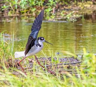 Blacknecked Stilt puttin' on some kind of show for the camera