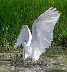 "Great Whire Egret with a ""swing and a miss"""