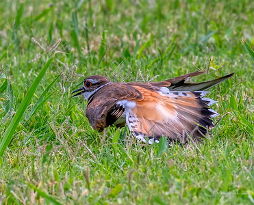 Killdeer fakes wing injury to distract from her chicks nearby @ ANWR