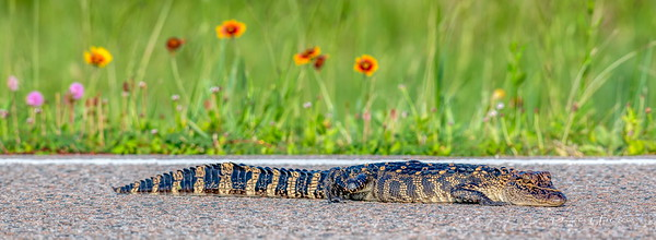 "This baby alligator was sunning on the ANWR entrance road...less than 18"" long"