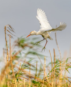 Cattle Egret arriving at his home on Shoveler's Pond