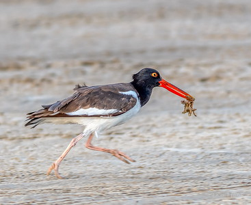 American Oystercatcher scurries away to enjoy his tasty capture