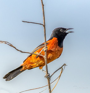 Orchard Oriole singing away