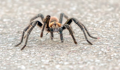 Brown Tarantula alongside Tx Hi 71