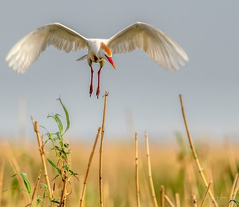 Cattle Egret descends on his nest