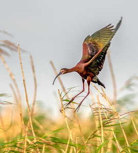 White-faced Ibis full flaps for his landing