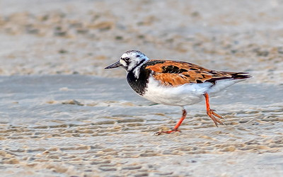Ruddy Turnstone scampers across the beach at the Galveston Jetties