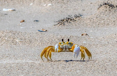 I've wanted a shot of a Ghost Crab for quite sometime. I waited for this guy for over an hour after I saw him disappear in the sand. He finally emerged and looked right at me--I think he was looking at me?