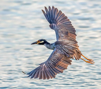 Yellow-crowned Night Heron on final approach