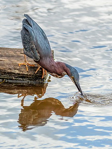 Green Heron snags a minnow for an appetizer
