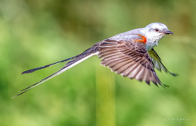 Scissor-tailed Flycatcher swallows a morsel