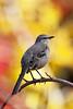 Mockingbird in autumn.