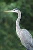 A closeup heron portrait, taken early on a summer morning from the kayak, on the Duck River, Columbia, Tennessee.