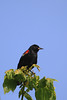 Still looking for a closeup capture of a Red-Winged Blackbird...