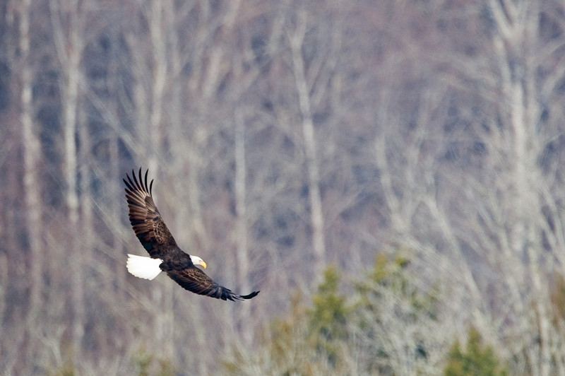 My first eagle photo of the season; at Whip-poor-will Lake in Williamsport, Tennessee. I never got close enough, despite a lot of sneaky creeping through the cedars...