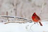 Cardinals and snow; it has to be the iconic winter nature photo combo...however, I need green holly leaves somewhere nearby...