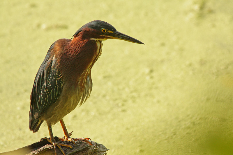 The same green heron as in the previous photo flitted closer to my position on the shore of Radnor Lake, near Nashville.