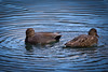 Gadwall Couple 5