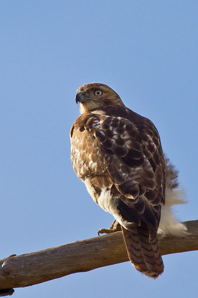 Young Redtail Hawk, near Highway 7 in northwestern Maury County.