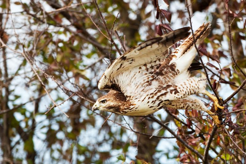 Hawk pounce