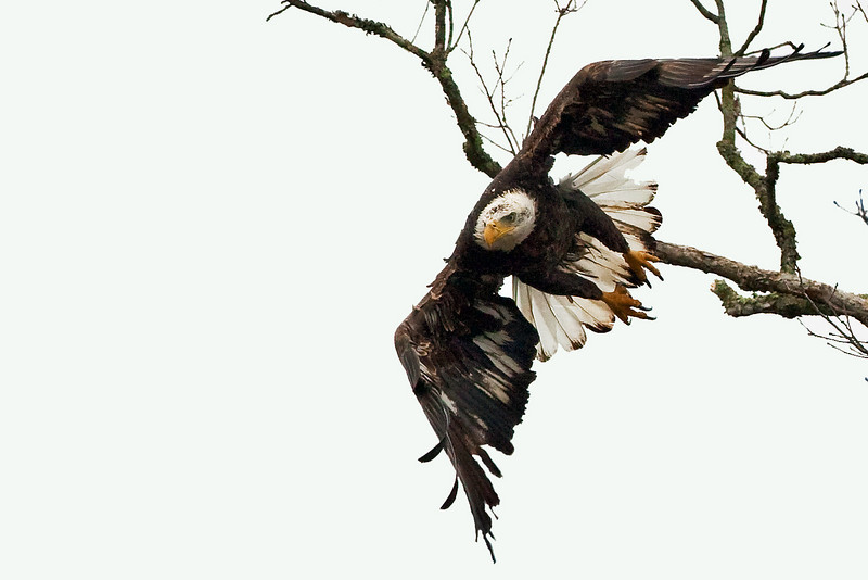 Same eagle as in the previous picture, flying from a different perch about twenty minutes later...