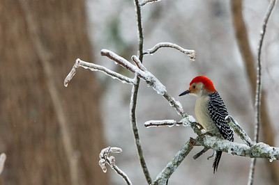 Hungry woodpeckers like birdseed in harsh winter weather.