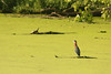 """I love these little """"greenies""""! This environmental portrait seems to portray the turtle and bird posturing for each other across the duckweed."""