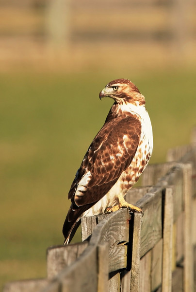 The raptor waited patiently while I snapped a half-dozen frames, even after I moved to the end of the fence. I've been unable to positively identify it.