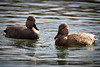 Gadwall Couple 3